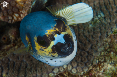 A Black spotted puffer