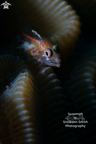 A Flagfin Blenny