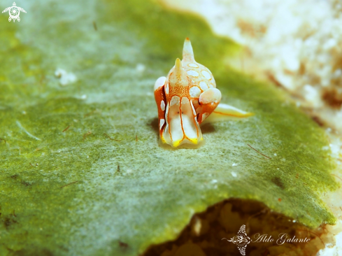 A Siphopteron sp. | Nudibranch