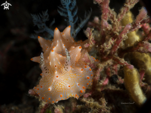 A Halgerda Nudibranch