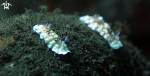 A Bus stop nudibranch