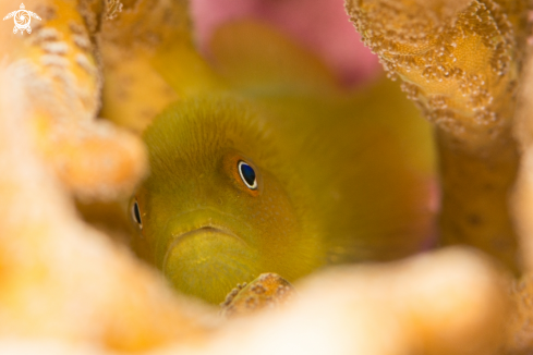 A Hairy yellow goby