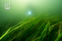A Common eelgrass