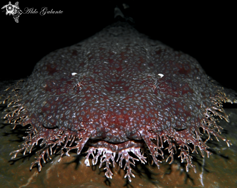 A Tasselled Wobbegong Shark