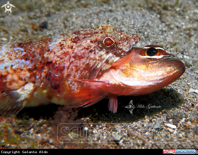 A Reef Lizardfish