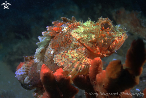 A Eastern Red Scorpionfish