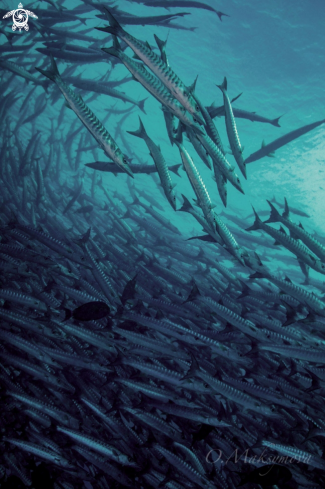 A School of barracuda
