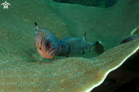 A Hard coral and violet soldierfishes