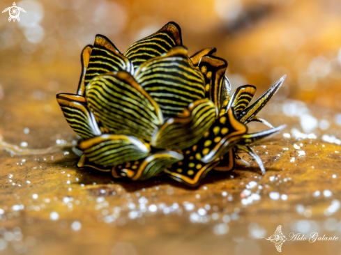 A Tiger Butterfly Nudibranch