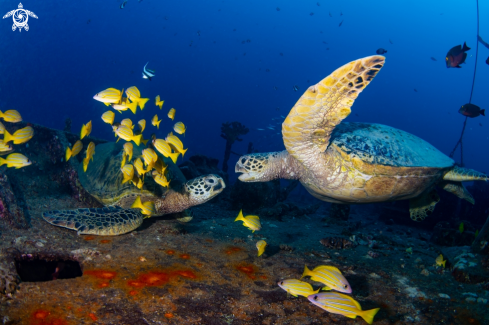 A Hawaiian green sea turtle