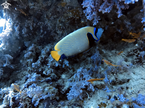 A Pomacanthus | Emperor Angelfish