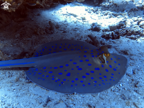 A Taeniura lymma | Blue spotted ribbontail ray