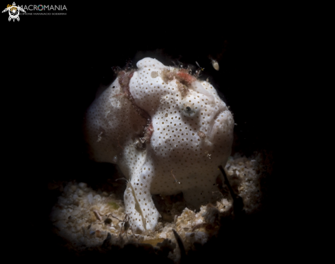 The  Warty Frogfish