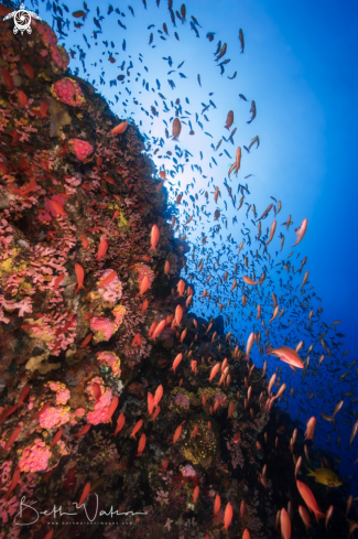 A anthias and reef scene
