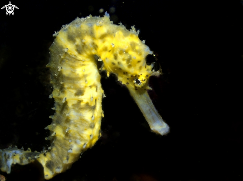 The Juvenile Tigertail Seahorse