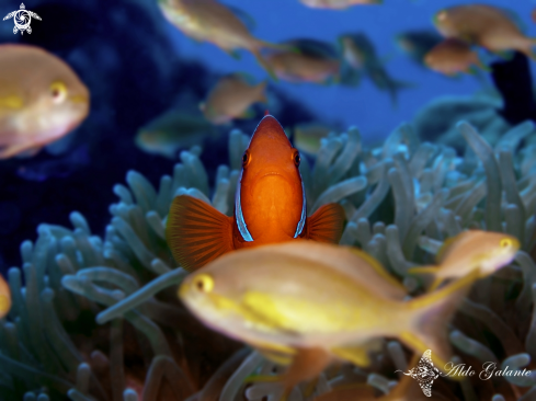 The Tomato Clownfish