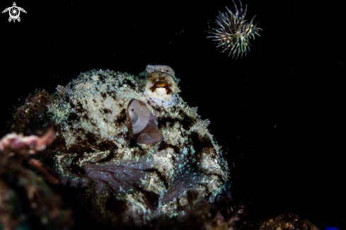 A Coconut octopus and Lionfish