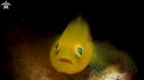 A Yellow Clown Goby
