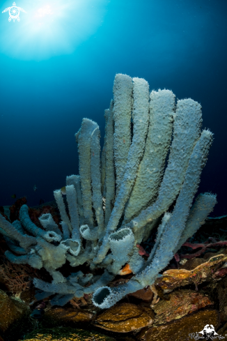 A Tube coral
