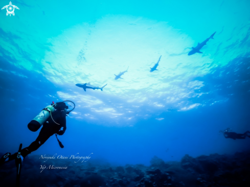 A diver and sharks