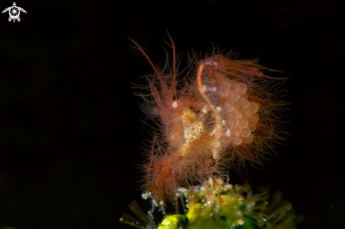 A Hairy Shrimp ( Phycocaris simulans) carrying the eggs