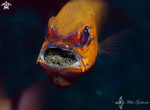 A Ring Tailed Cardinalfish