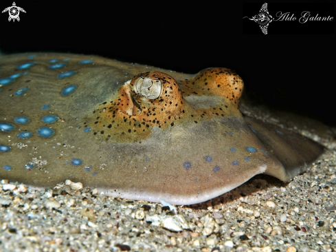 A Blue Spotted Rays