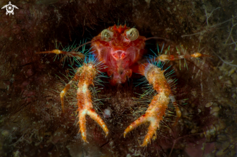 A Olivar's Squat Lobster (Munida olivarae)