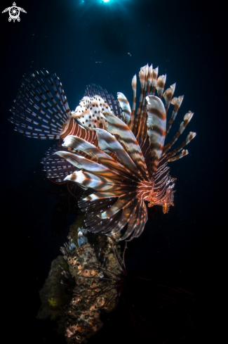 A Common Lionfish