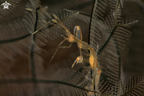 A Skeleton Shrimp Caprella spp. carrying the eggs