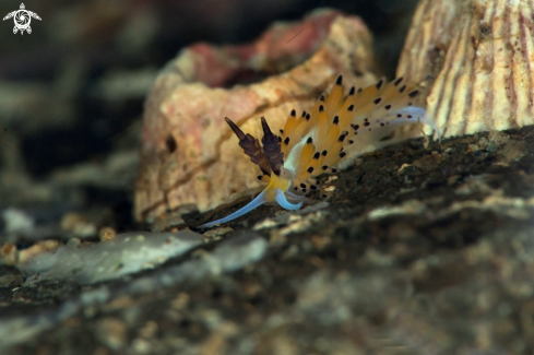 A Nudibranch Favorinus tsuruganus