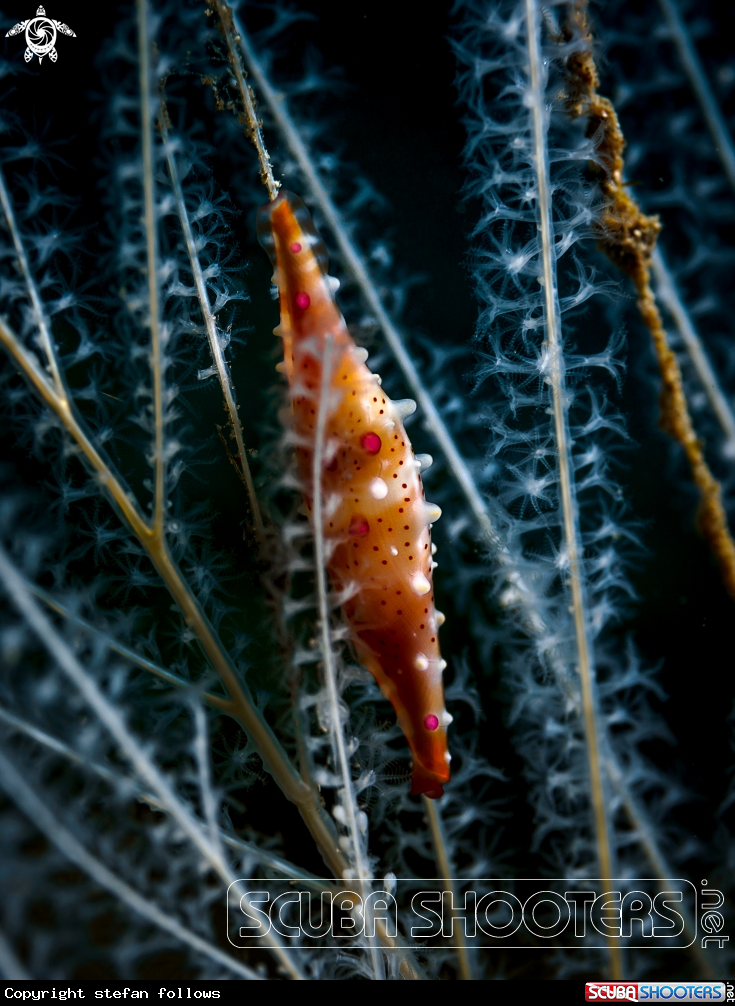 A Allied Cowry