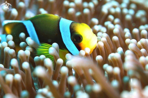 A Clownsfish Macro up close in the Anemone,Mauritius.