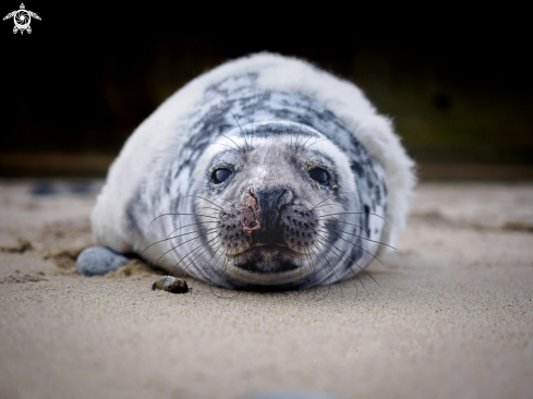 Grey Seal (pup)