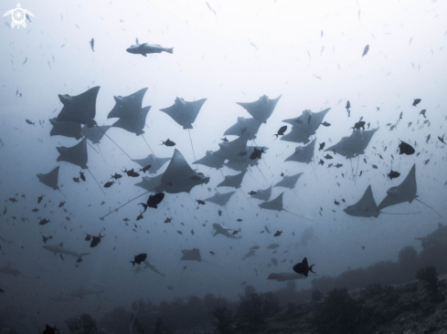 A School of Eagle Ray