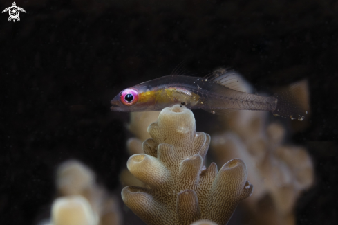 The pink-eyed goby