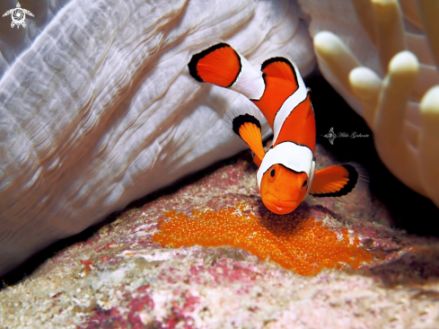 A The False Percula Clownfish or Common Clownfish
