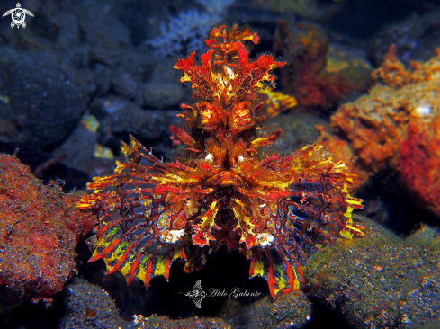 The Weedy Scorpionfish.