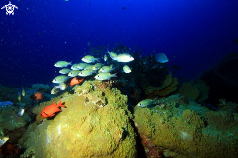 A Boulder formations with Cardinal Fish Mauritius.