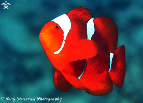 A Spine-cheeked anemonefish