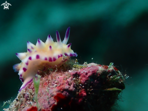 A Mexichromis multituberculata | Nudibranch