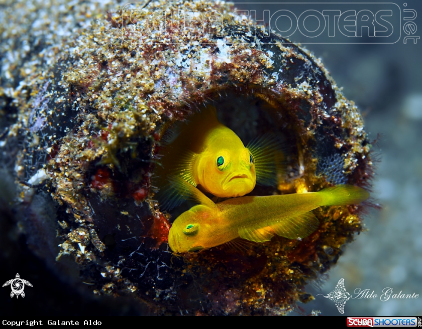 A Yellow Pigmy Goby