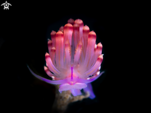 A Flabellina