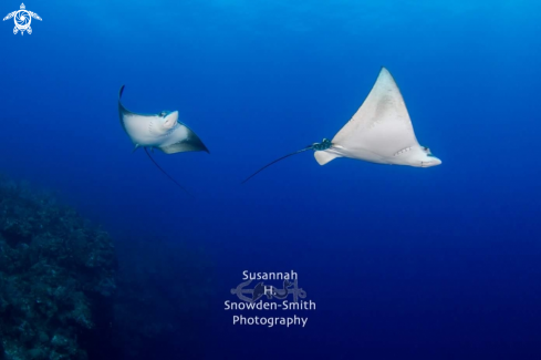 A Myliobatidae | Eagle Ray Ballet