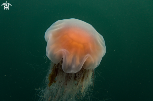 A Lion's Mane Jellyfish