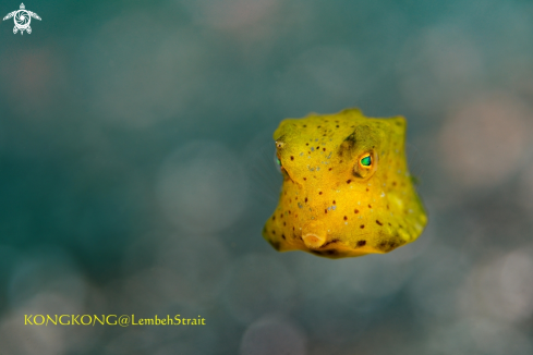 A Yellow Boxfish