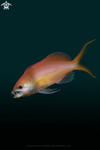 A Redfin Anthias, Rotflossen Riffbarsch