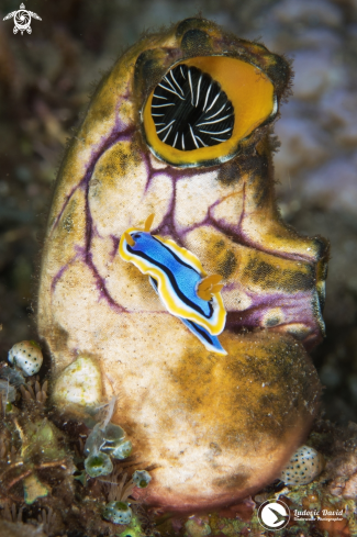 A Anna's Chromodoris Nudibranch