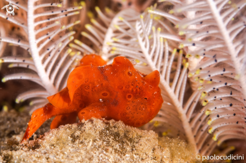A Antennarius ictus | Painted Frogfish