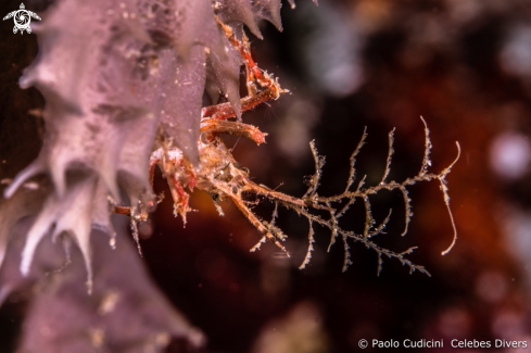A Hydroid decorator crab